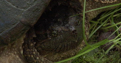 Snapping Turtle,CLose Up Face and Neck,Insect Crawling Beneath