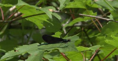 Male Ebony Jewelwing Damselfly,Resting on Leaf,Hunting