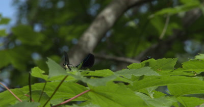 Ebony Jewelwing Damselflies Feeding,Resting,Hunting From Leaf Tops in Early Morning