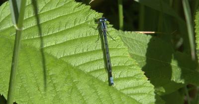 Northern Bluet,Dameselfly Resting on Green Leaf