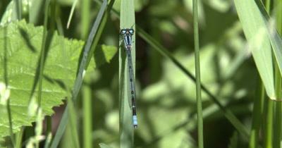 Northern Bluet,Dameselfly Resting on Grass Stem