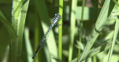 Northern Bluet Damselfly Resting on Plant Stalk,Wings Folded