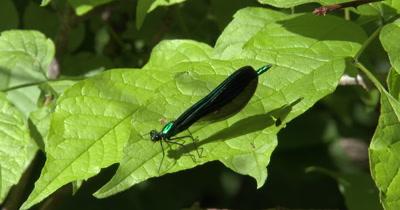 Ebony Jewelwing Damselfly,Male,Resting on Green Leaves