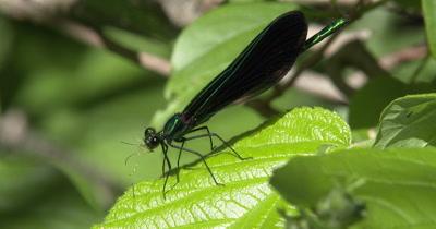 Ebony Jewelwing Damselfly Feeding on Mosquito,Legs Falling Off Mosquito