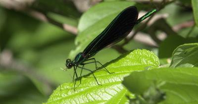 Ebony Jewelwing Damselfly Feeding on Mosquito,Last of Mosquito