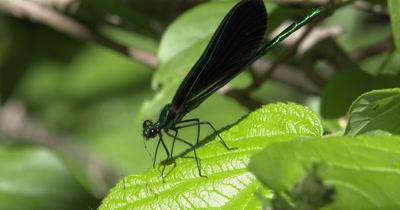 Ebony Jewelwing Damselfly Feeding on Last Little Bits of Mosquito