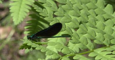Ebony Jewelwing,Damselfly,Male,Resting on Fern Leaf