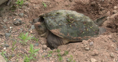 Snapping Turtle in Nesting Hole