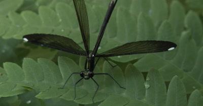 Female Ebony Jewelwing Damselfly,Wings Spread Showing White Spots
