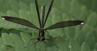 Female Ebony Jewelwing Damselfly,Resting on Fern Leaf,Wings Spread