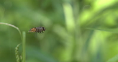 Deerfly Hovering,Hunting for Prey