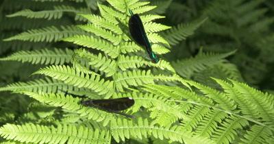 Ebony Jewelwing Damselflies,Male and Female,Resting on Fern Leaf