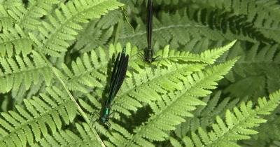 Damselflies Resting on Fern Leaf,Housefly Lands Nearby,Ebony Jewelwing Damselflies