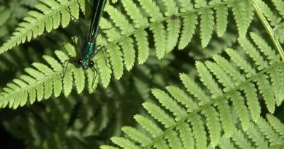Ebony Jewelwing Danselfly Hanging on Fern Leaf Near Top of Frame