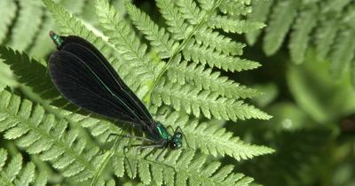 Ebony Jewelwing Damselfly on Fern Leaf,Snaps Wings Open,Closed