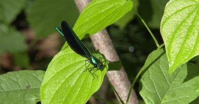 Damselfly on Green Leaf,Looking At Camera,Male Ebony Jewelwing