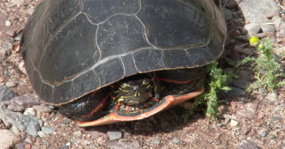 Painted Turtle,Head Pulled Back Into Shell