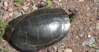 Painted Turtle,Legs Pulled Into Shell,Leech Stuck To Back Of Shell
