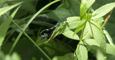Northern Bluets,Damselflies Positioning For Mating