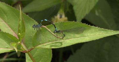 Northern Bluets,Damselfly Mating Behavior