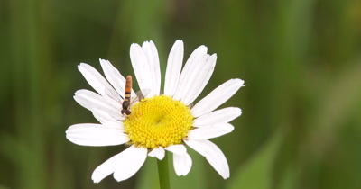 Bee Fly on Daisy,Gathering Pollen