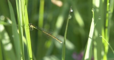 Sedge Sprite Damselfly Female,Resting on Grass Blade in Sun