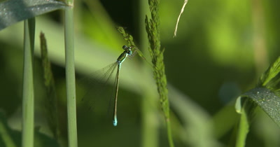 Sedge Sprite Damselfly,Eating Aphid Pulled from Grass Seed Head