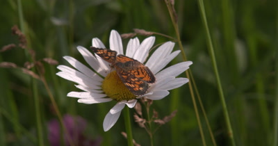 Fritillary Butterfly on Daisy,Walking,Circles Around Flower Head