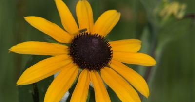Bee Fly on Head of Black Eyed Susan,Wildflower