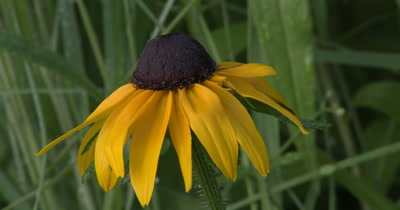 Black Eyed Susan,Willdflower