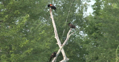 Red Winged Blackbirds,Male and Two Juveniles in Tree