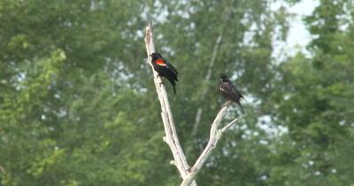 Male Red Winged Blackbird Calling From Tree Branch,Juvenile Below,Preening