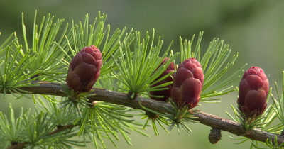 Tamarack Pine, Northern Boreal Forest