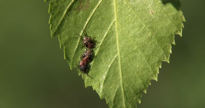 Stink Bugs,Beetle Larvae,Nymphs Hanging Beneath Birch Leaf