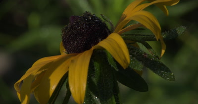 Hairy Stem of Brown Eyed Susan,With Dew,Pan Up To Flower Head,Wildflower