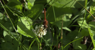 White-faced MeadowHawk,Dragonfly Chewing,Hunting From White Clover Flower