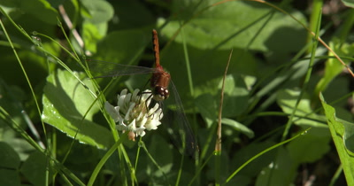 White-faced MeadowHawk,Dragonfly Hunting From White Clover Flower