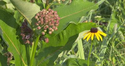Milkweed Flower,and Black-Eyed Susan,Wildflowers