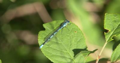 Familiar Bluet,Damselfly Resting on Green Leaf