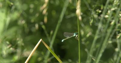 Sedge Sprite Damselfly,Hanging from Grass Stem,Facing Camera,Bright Blue Eyes
