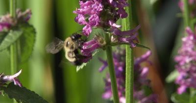 Bumblebee on Violet Lambs Ear Flowers