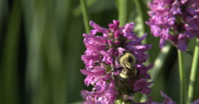 Bumblebee on Violet Lambs Ear Flowers,Exits