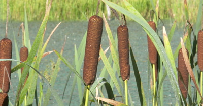 Cattails in Beaver Pond,Wetland Area