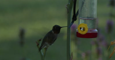 Ruby Throated Hummingbird,Male,Feeding From Feeder Full of Ants