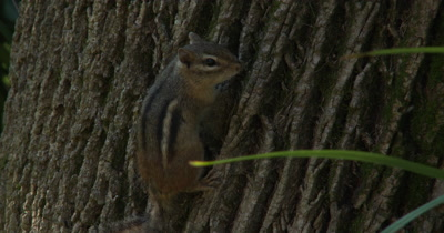 Eastern Chipmunk on Side of Tree,Looks Back,Exits Bottom