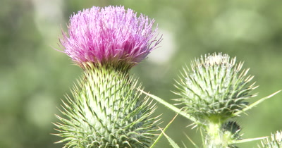 Wild Thistle Flower and unopened Seed Pod,Gentle Breeze