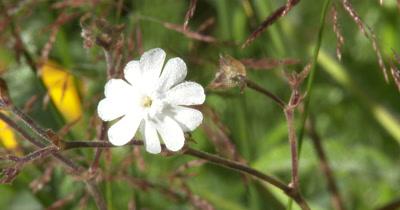 Bladder Campion,Edible White Wildflower,Light Breeze