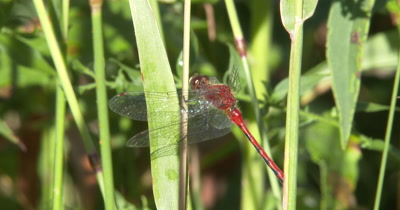 White-faced Meadowhawk,Dragonfly Hunting From Grass Blade,Moves Head,Looking About
