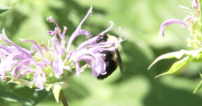 Bumblebee Gathering Pollen From Bee Balm,Burgemot,WIldflower