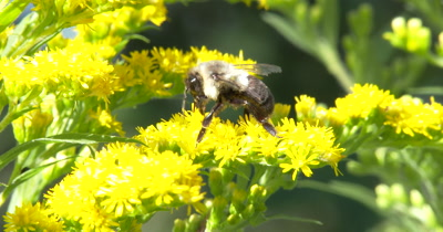 Bumblebee Feeding,Gathering Pollen From Goldenrod,Wildflower